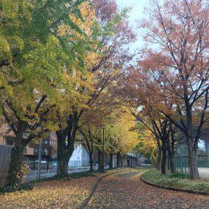通勤時に通る公園😊イチョウがとっても綺麗です✨