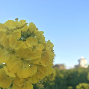 """菜の花見に行きました♪天気も良くて、気持ちよかったです٩( """"ω"""" )و"""