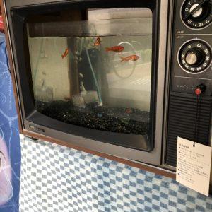 令和ですが昭和なテレビ型水槽🐠